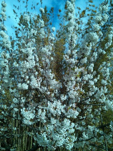 Cerezo en flor en el jardin del Hotel Sol Benicarló