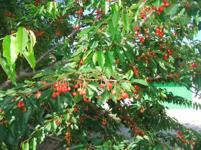 Junio mes de las cerezas en el jardin del Hotel Sol Benicarló