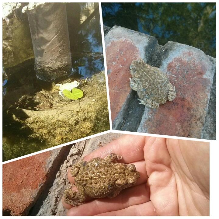 Tenemos un nuevo vecino, un sapo en el estanque de los peces en el Hotel Sol de Benicarló